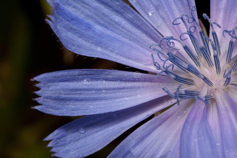 Kronblad av den härliga cikorien efter sommarregn close upp Levande natur royaltyfri bild