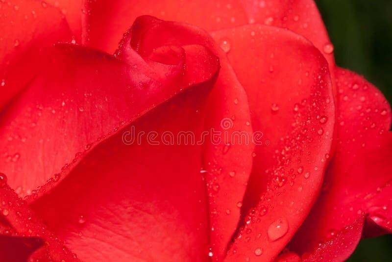 Kronblad av en härlig rosa färgros växer på en grön äng fotografering för bildbyråer
