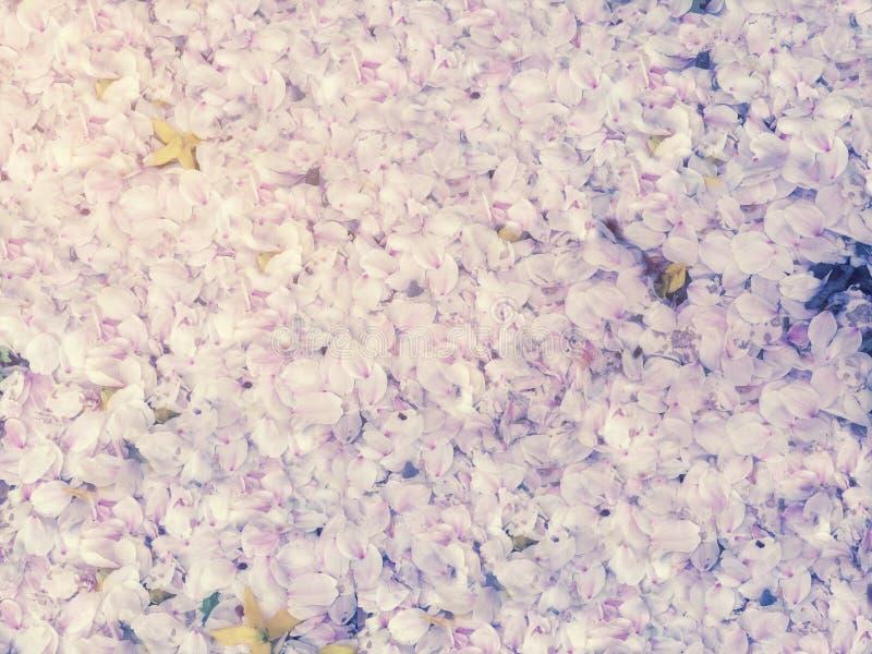 Kronblad för körsbärsröd blomning som faller på jordningen i våren för backgr royaltyfri bild