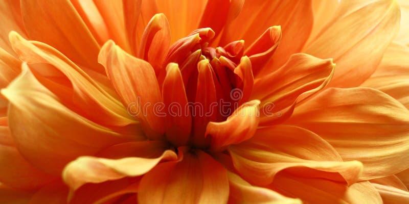 Kronblad i laxen royaltyfria foton