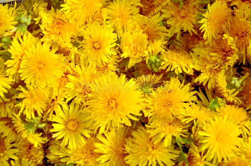 Kronbladen av maskrosor fotografering för bildbyråer