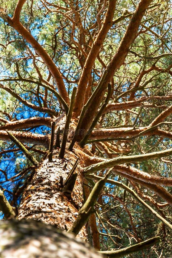 Krone der Kiefer gegen den blauen Himmel Frühling in einer Kiefernwaldansicht der Spitzen der Kiefer lizenzfreies stockfoto