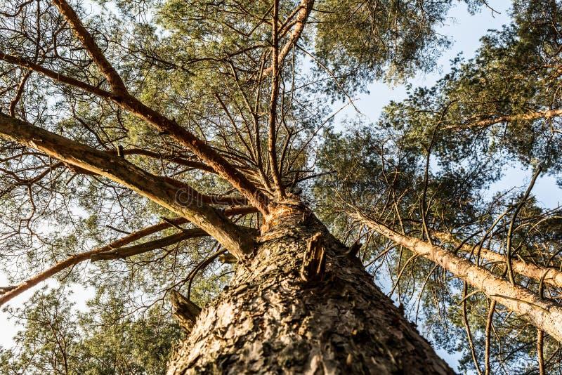Krone der Kiefer gegen den blauen Himmel Fr?hling in einer Kiefernwaldansicht der Spitzen der Kiefer stockfotografie