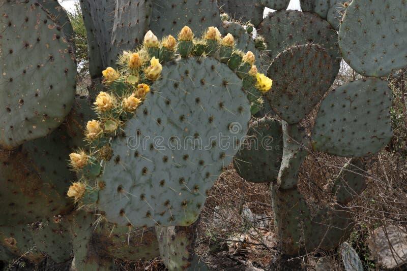 Krone von blühenden Kaktusblumen lizenzfreies stockbild