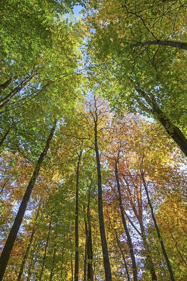 Krone von Eichen im Herbst lizenzfreies stockbild