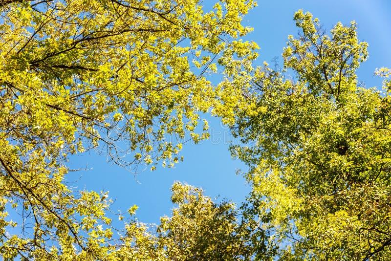 Kronen van de herfstbomen tegen een blauwe hemel stock foto