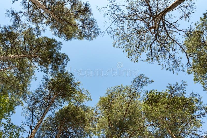 Kronen van lange pijnboombomen in het bos tegen een blauwe hemel in zonnige dag stock afbeelding