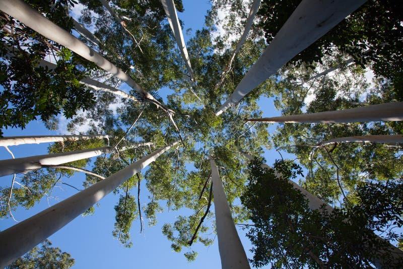 Kronen van witte gombomen op Fraser Island stock afbeeldingen