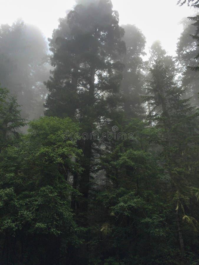 Kronen von Bäumen im Rotholz-Nationalpark, Kalifornien USA stockfotografie