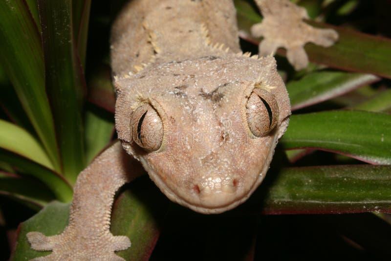 KronenGecko (Rhacodactylus ciliatus) lizenzfreies stockfoto