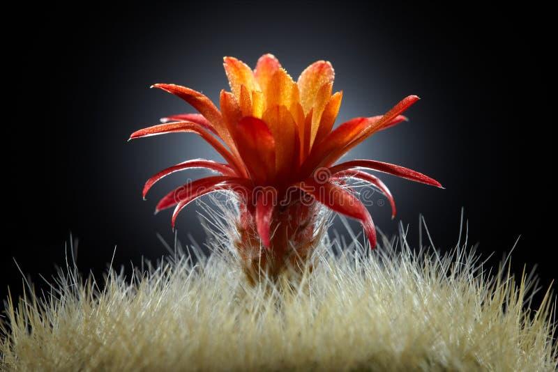 Kroon van Cactus stock foto's
