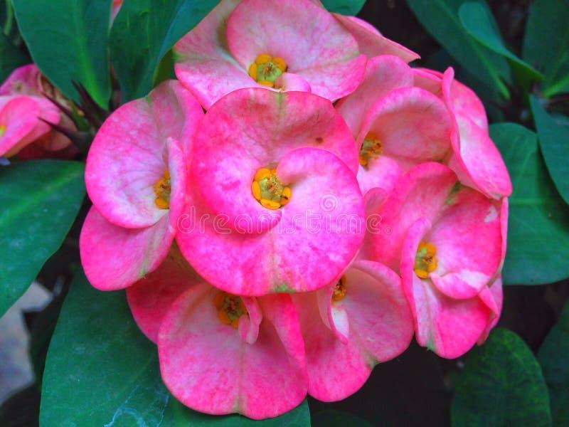 Kroon van doornenbloemen stock afbeelding