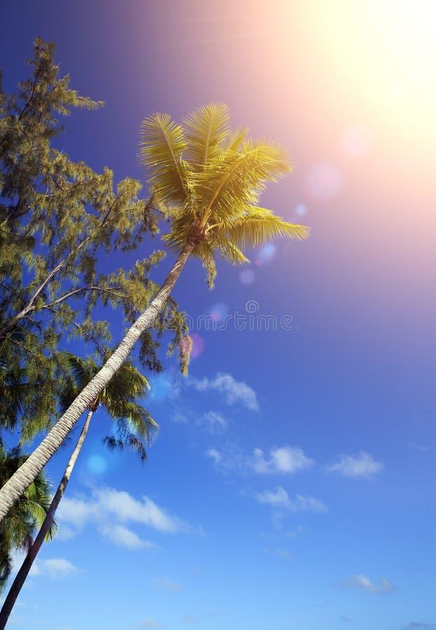 Kroon van een palm en rundvleeshout op achtergrond van de blauwe hemel en de zon stock afbeelding