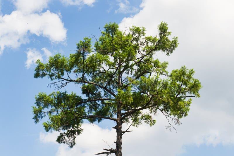 Kroon van een reusachtige pijnboomboom tegen blauwe hemel Bovenkant van pijnboom tegen de achtergrond van de zonnige blauwe hemel stock foto's