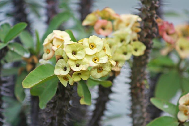 Kroon van gele doornen, de bloem van wolfsmelkmilli royalty-vrije stock foto