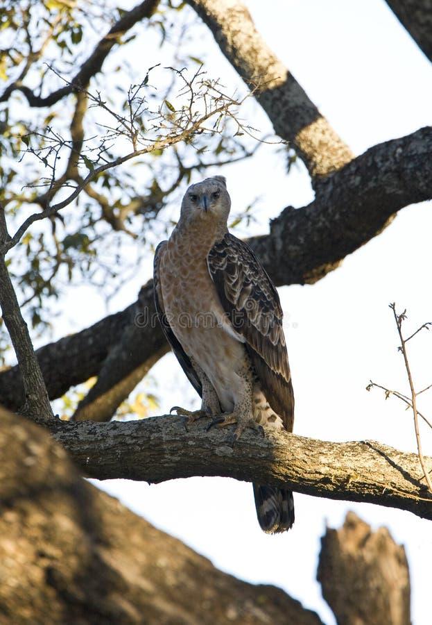 Kroonarend afrikan krönade Eagle, den Stephanoaetus coronatusen royaltyfria foton