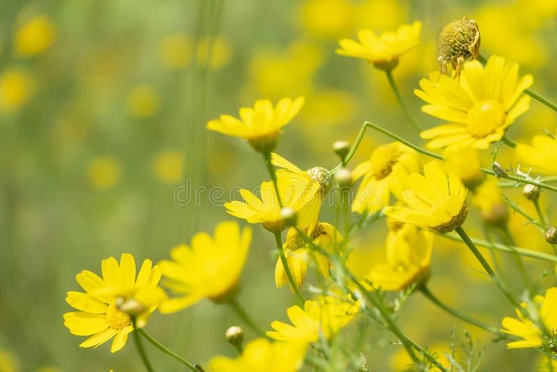 Kroondaisy geel bloesemgebied met wilde bloemen Geconcentreerde Glebionis-coronaria op de hoek en de vage achtergrond stock afbeeldingen