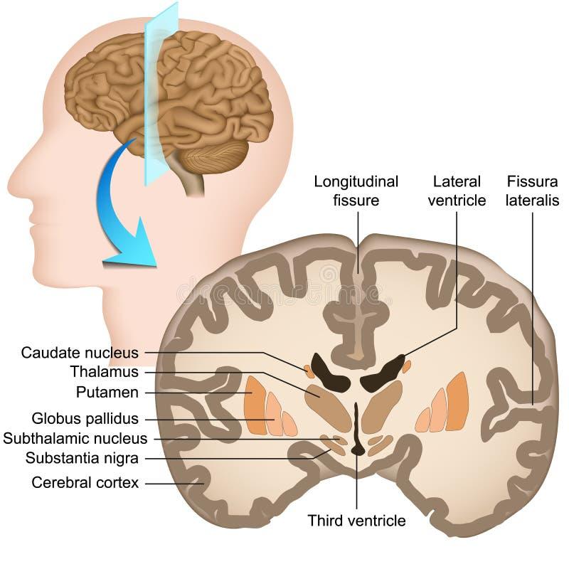 Kroonsectie van de menselijke hersenen medische illustratie royalty-vrije illustratie