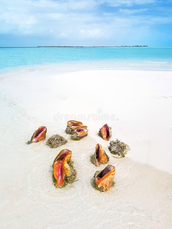 Kroonslak op het strand stock foto's