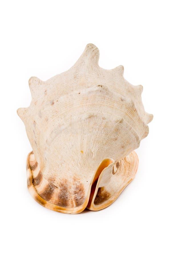 Kroonslak Shell stock fotografie