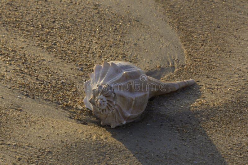Kroonslakshell op strand in Florida royalty-vrije stock foto