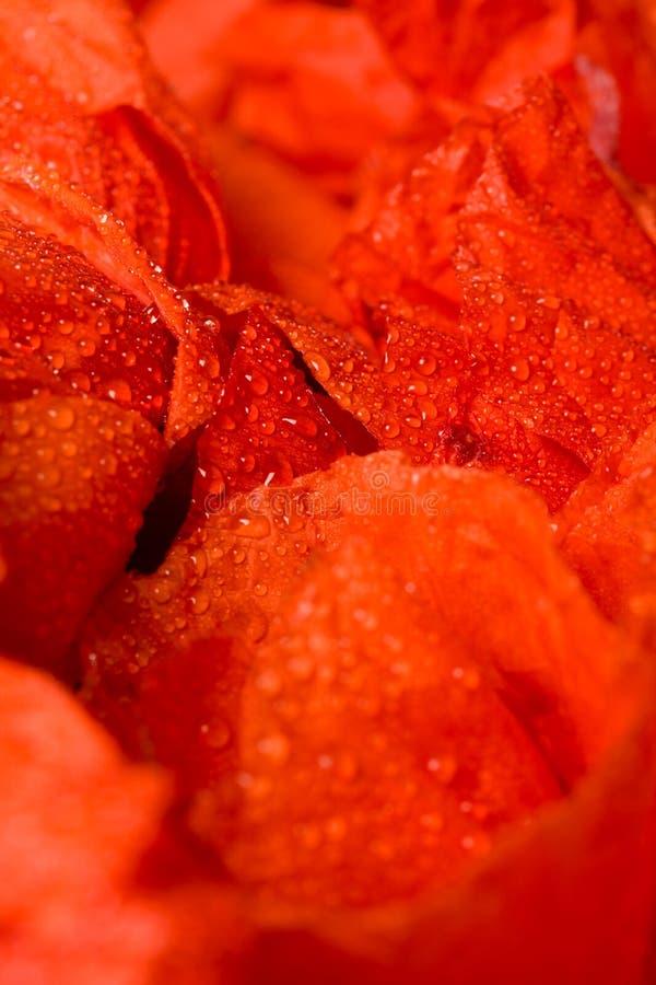 kropel kwiatu płatków czerwona woda zdjęcie royalty free