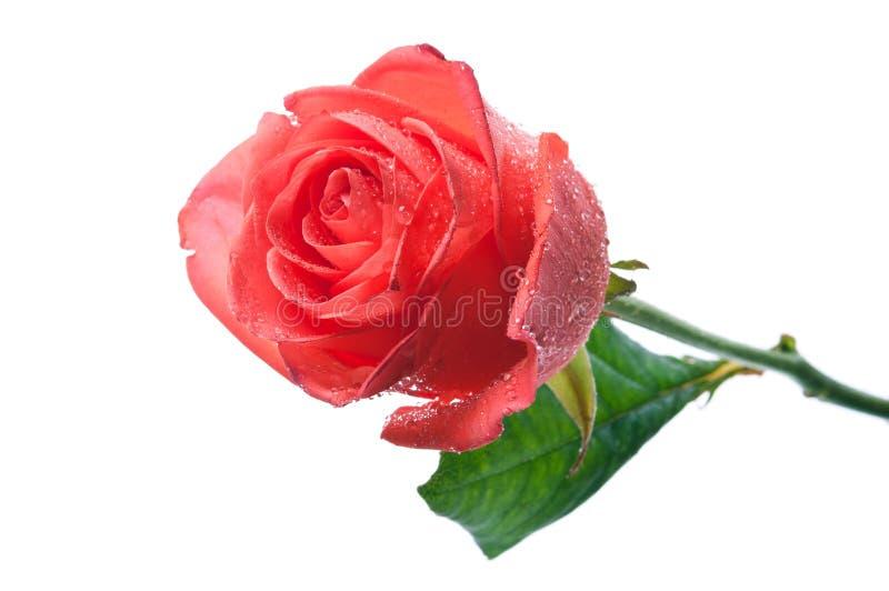 kropel róży woda obraz royalty free
