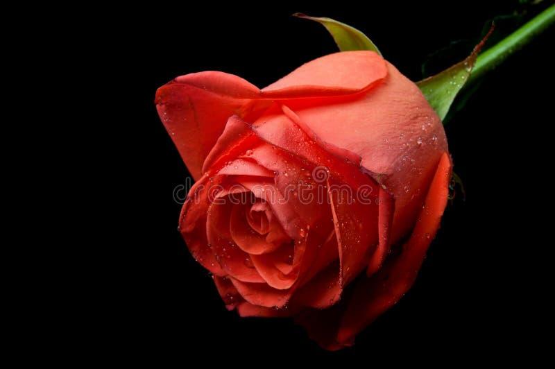 kropel róży woda fotografia stock