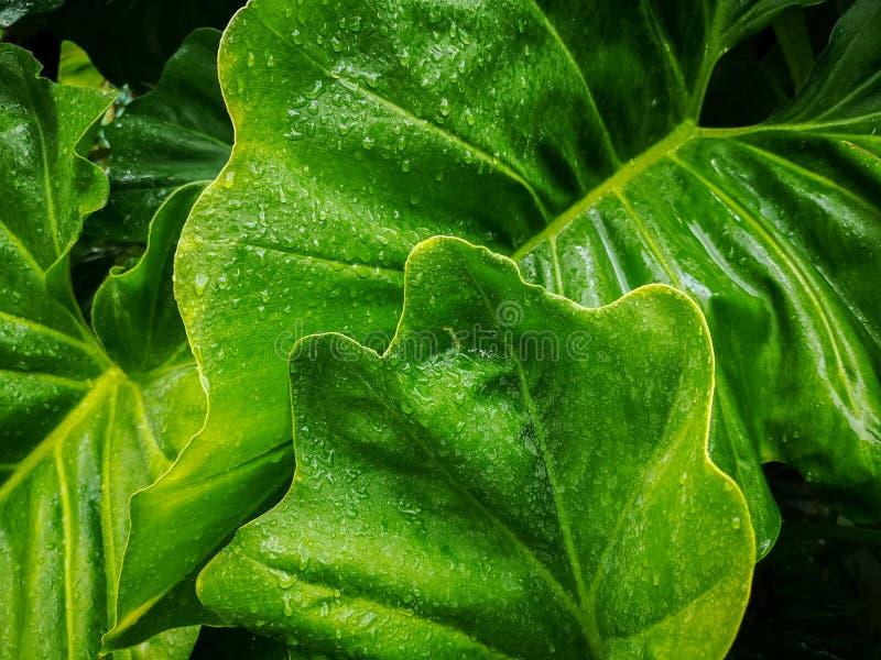 Kropelka woda od raindrops na świeżej zielonej gigantycznej ulotce liść, pokrywa na wzorze żyła i skóra słonia ucho rośliny, obrazy stock