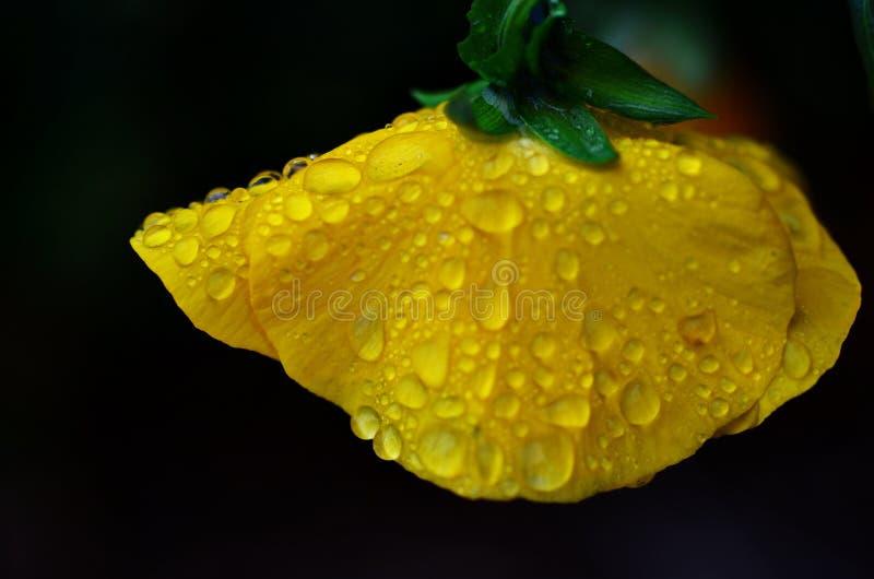 Kropelki woda na żółtym kwiacie zdjęcia royalty free