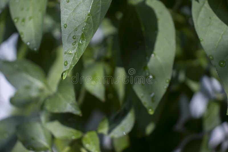 Kropelki wody na liściach obraz royalty free