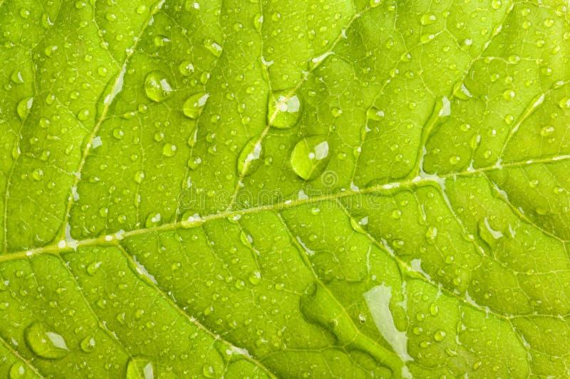 kropelki zielenieją liść wodę fotografia royalty free