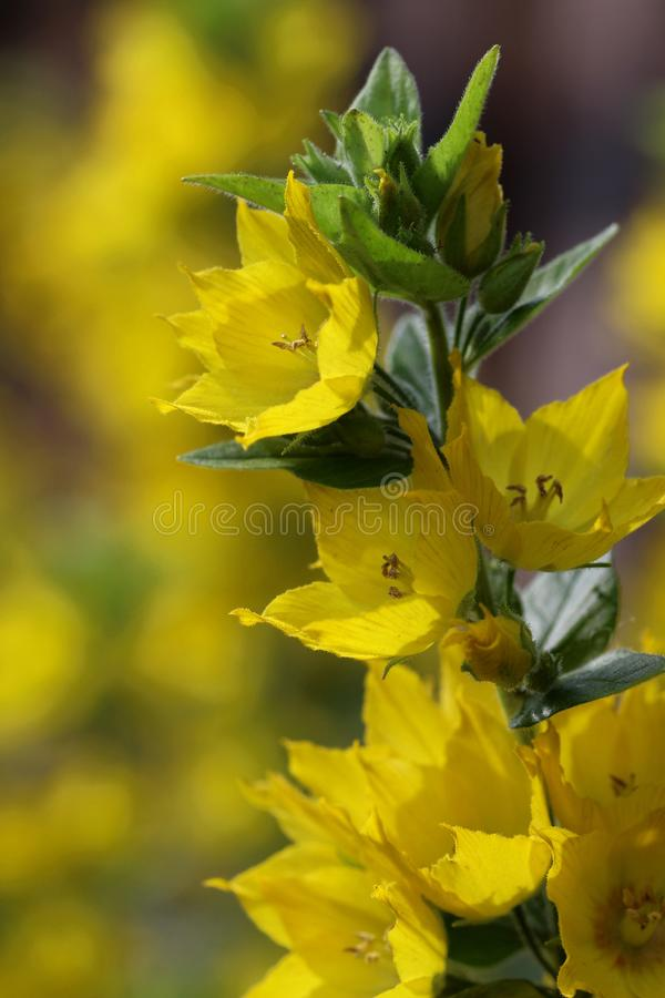 Kropkowany loosestrife, Lysimachia punctata, pionowo fotografia stock