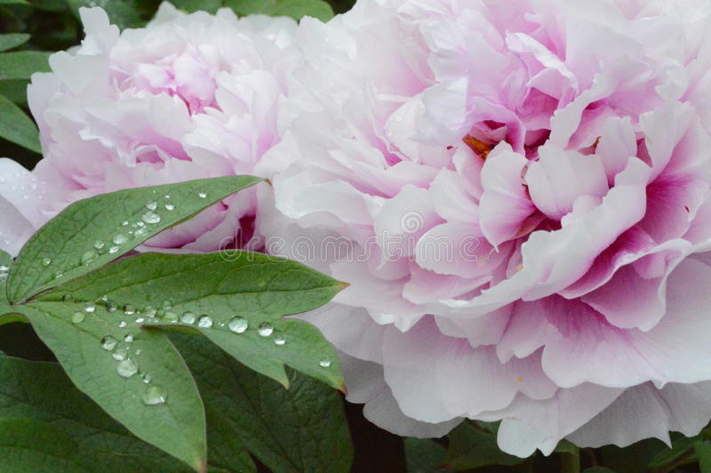 Kropla liścia rosy watter kwiatu deszcz zdjęcie stock