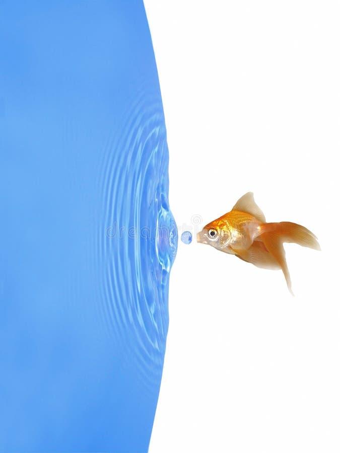 kropla marznąca goldfish woda zdjęcia stock
