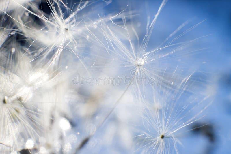 Kropla woda na dandelion dandelion na błękitnym tle z kopii przestrzenią fotografia royalty free