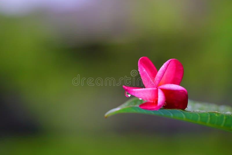 Kropla woda na płatku Czerwony Plumeria kwiat zdjęcia stock
