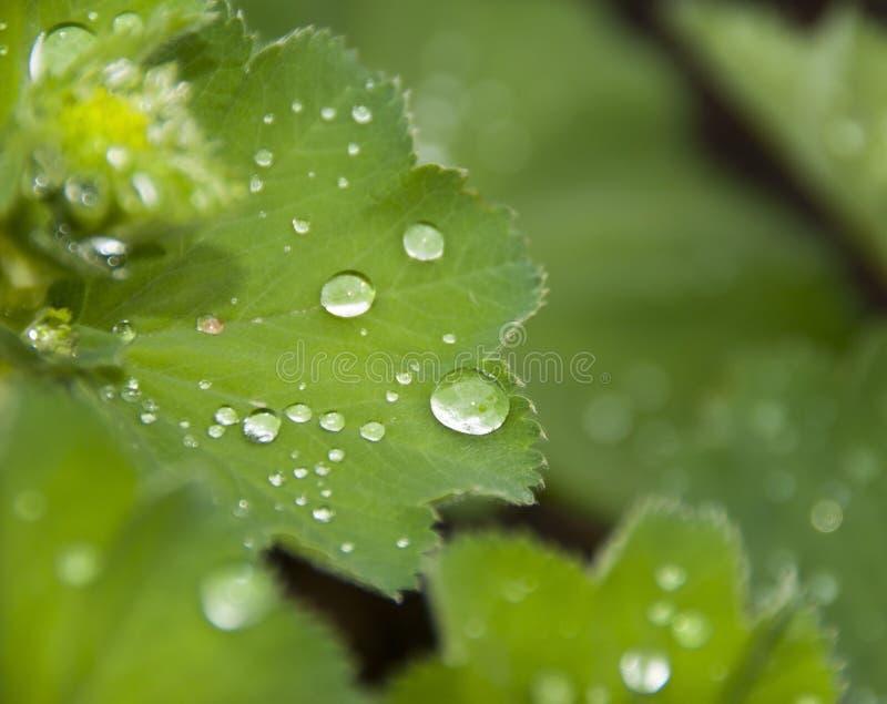 krople leaf woda obrazy royalty free