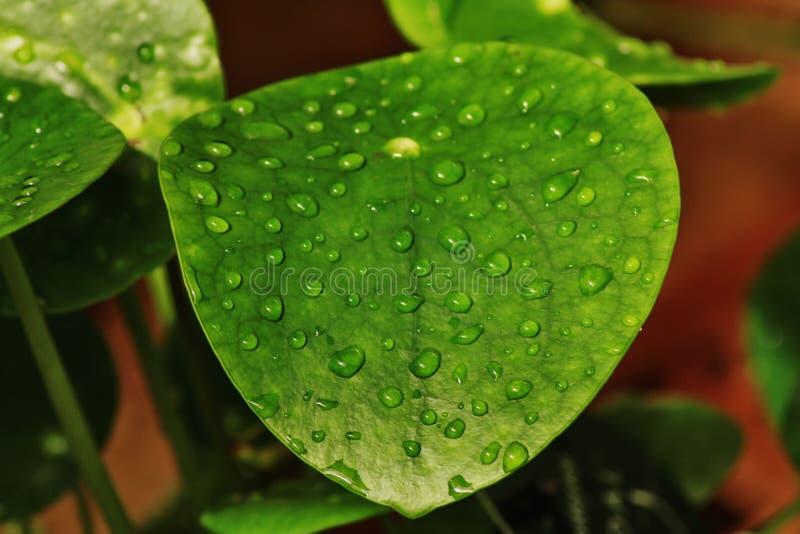 Krople macro del ‡ del› Ä del liÅ del verde del descenso del agua de la hoja fotografía de archivo