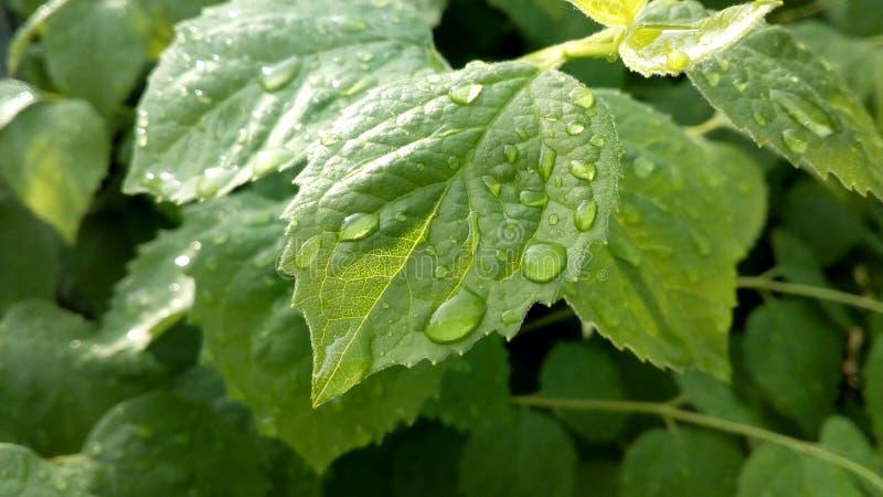 Krople nawadniają rosę na zielonym liściu Drzewo Po deszczu Makro- fotografii natura fotografia stock