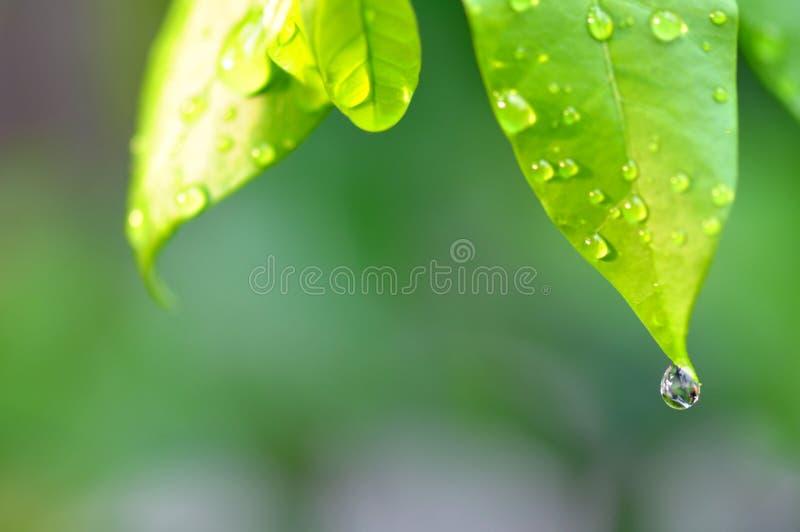 Krople rosy woda na świeżym zielonym liściu zdjęcia stock