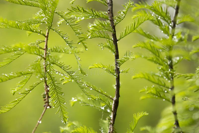 Krople woda na liściach drzewo zdjęcia stock