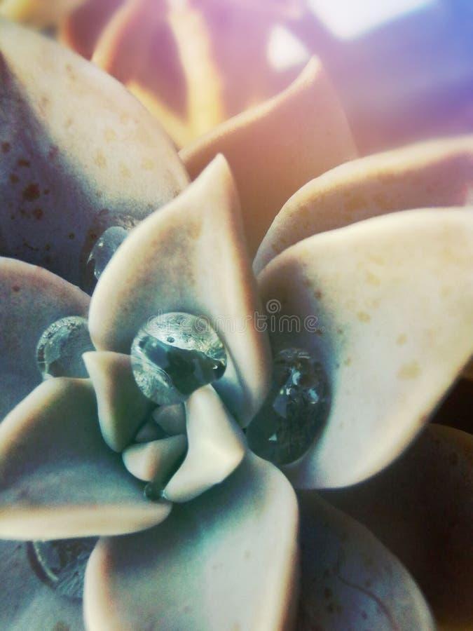 Krople woda na tłustoszowatej roślinie zdjęcia stock