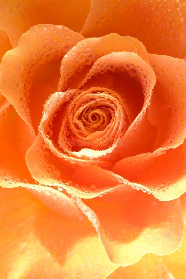 krople wody róży fotografia royalty free