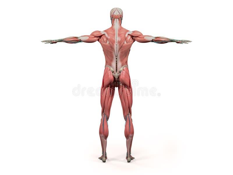Kropp, huvud, skuldror och torso för mänsklig anatomivisningbaksida full royaltyfri illustrationer
