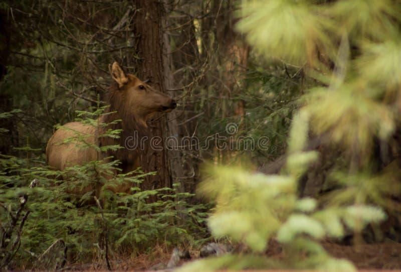 Krowa łoś w lesie zdjęcie royalty free