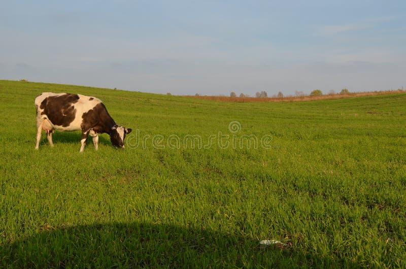 Krowa. zdjęcie stock