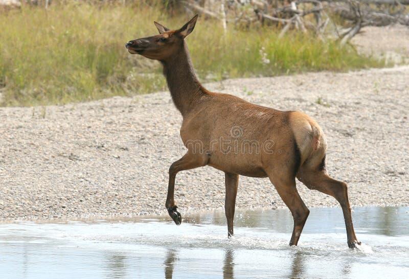 krowa elk zdjęcie stock