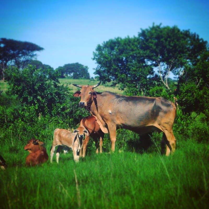 Krowa i łydka fotografia royalty free