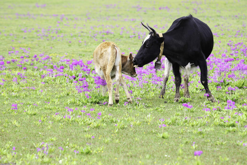Krowa i łydka obraz royalty free